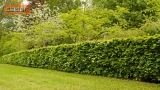Le siepi in giardino